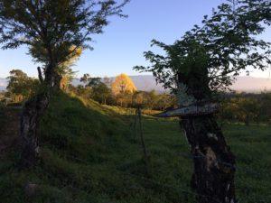 Morning Corteza bloom